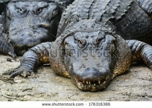 stock-photo-alligators-176316386