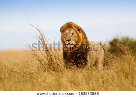 stock-photo-beautiful-lion-caesar-in-the-golden-grass-of-masai-mara-kenya-162523886 afrique lion