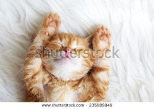 stock-photo-cute-little-red-kitten-sleeps-on-fur-white-blanket-235089946 chat
