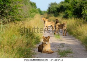 stock-photo-pride-of-lions-on-the-road-241505413