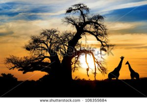stock-photo-spectacular-sunset-with-baobab-and-giraffe-on-african-savannah-106355684