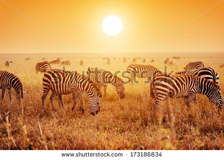 stock-photo-zebras-herd-on-savanna-at-sunset-africa-safari-in-serengeti-tanzania-173186834