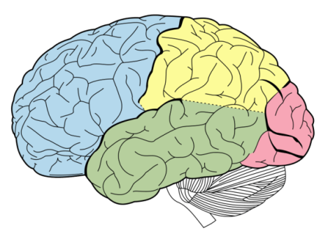 Cognitive-Biases-in-Trading brain