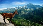 stock-photo-a-mountain-goat-looks-at-the-landscape-69586180 savoie
