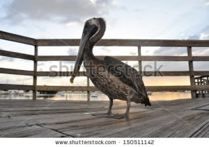 stock-photo-brown-pelican-in-ponce-puerto-rico-150511142