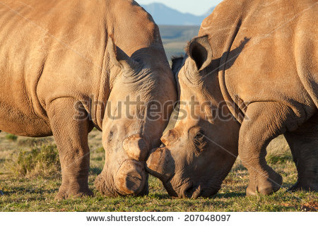 stock-photo-de-horned-rhinoceros-in-the-veld-207048097 rhinocéros afrique