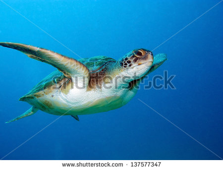 stock-photo-loggerhead-sea-turtle-caretta-caretta-in-tenerife-spain-137577347