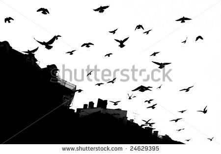 stock-photo-pigeons-in-krakow-black-white-24629395 birds