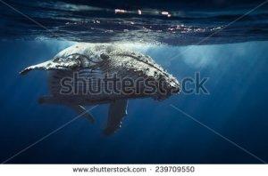 stock-photo-queen-whale-239709550 baleine