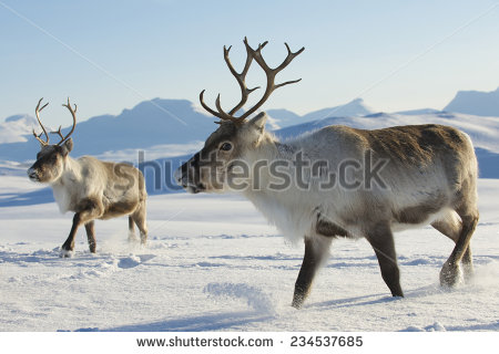 stock-photo-reindeers-in-natural-environment-tromso-region-northern-norway-234537685