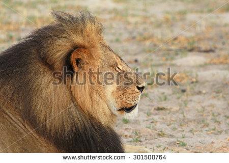 stock-photo-side-profile-of-cecil-the-hwange-lion-zimbabwe-301500764