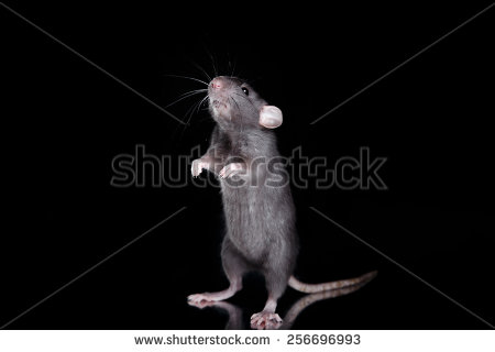 stock-photo-studio-portrait-of-a-brown-domestic-rat-on-a-black-background-256696993