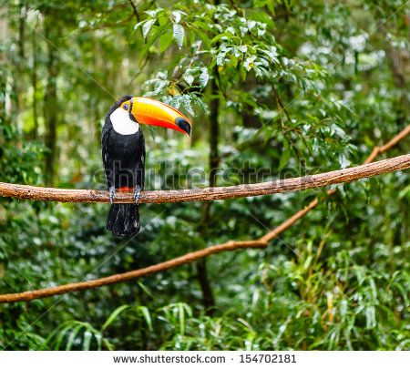 stock-photo-toucan-in-rain-forest-with-tree-and-foliage-early-in-the-morning-after-rain-154702181