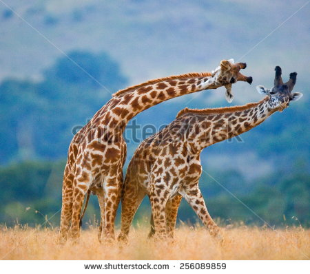 stock-photo-two-giraffes-fighting-each-other-in-kenya-in-the-masai-mara-national-park-this-is-the-part-of-a-256089859 afrique kenya giraffe