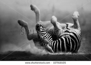 stock-photo-zebra-rolling-in-the-dust-artistic-processing-107918105