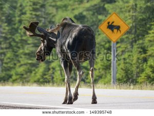stock-photo-bull-moose-respecting-road-sign-149395748 canada