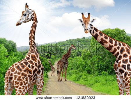 stock-photo-giraffes-in-kruger-park-south-africa-121889923