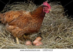 stock-photo-a-hen-laying-eggs-in-its-nest-133074113