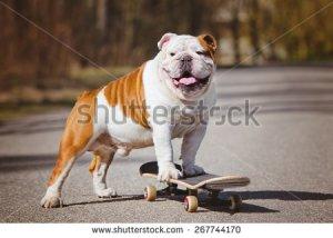 stock-photo-english-bulldog-standing-on-a-skateboard-267744170