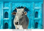 stock-photo-indian-holy-cow-in-front-of-the-tipical-indian-house-orchha-madhya-pradesh-india-37914706