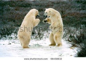 stock-photo-polar-bears-boxing-in-tundra-near-churchilll-canada-66458632