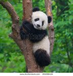 stock-photo-cute-panda-in-tree-201006434
