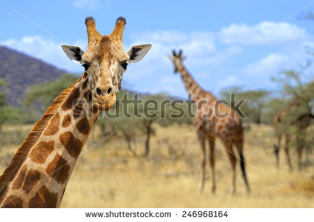 stock-photo-giraffe-in-front-amboseli-national-park-kenya-246968164