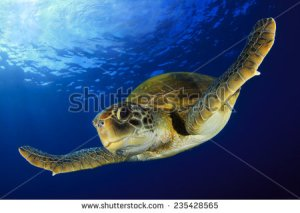 stock-photo-green-turtle-235428565