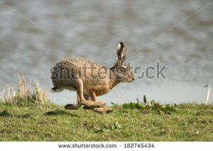stock-photo-hare-running-in-the-field-182745434