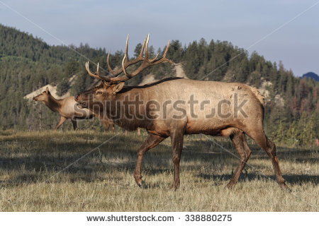 stock-photo-bull-elk-338880275