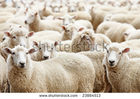 stock-photo-livestock-farm-herd-of-sheep-23884513
