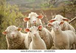 stock-photo--sheep-within-a-mob-turn-to-check-out-the-photographer-104360954