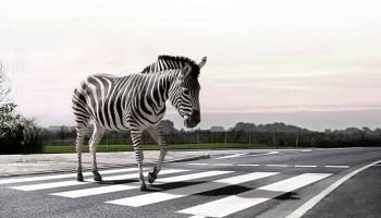 Arrêtons de parler de zèbres, merci. Zebra-10
