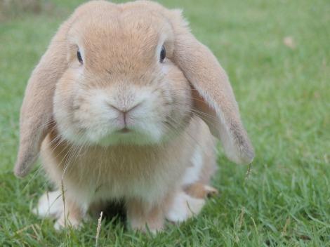 bien-occuper-lapin-domestique.jpg